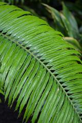 Encephalartos villosa, South Africa, Swaziland