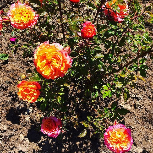 My neighbors roses are electric 🔥