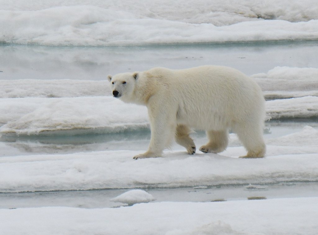 A young polar bear walking on sea ice