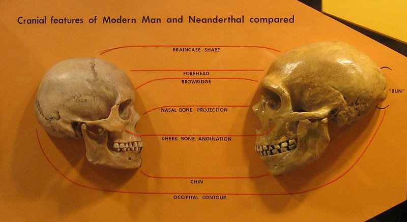 Skulls of Homo sapiens and Homo neanderthalensis, from Cleveland Museum of Natural History