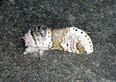71.005 Sallow Kitten - Furcula furcula
