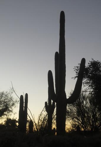 11-18saguaro3