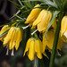 Crown Imperial (Fritallaria imperialis) Three blooms