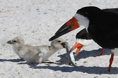 Black Skimmer Chick Orders the Large Fish