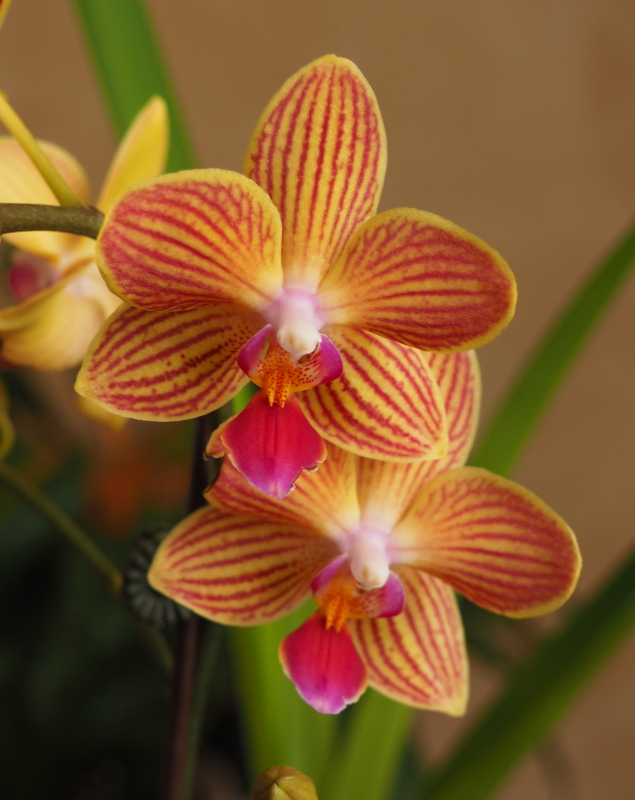 Les orchidées de Cloo, saison 2017 35711200062_50f324d09e_o