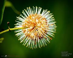 2017-07-03_water flower,Chautauqua Park_P7030731