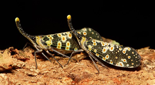 Lanternflies (Pyrops cf. lathburii, Fulgoridae)
