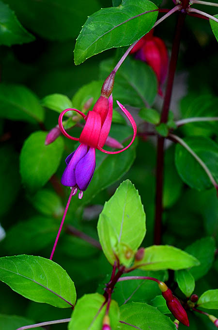 Fuchsia 'Golden Gate'