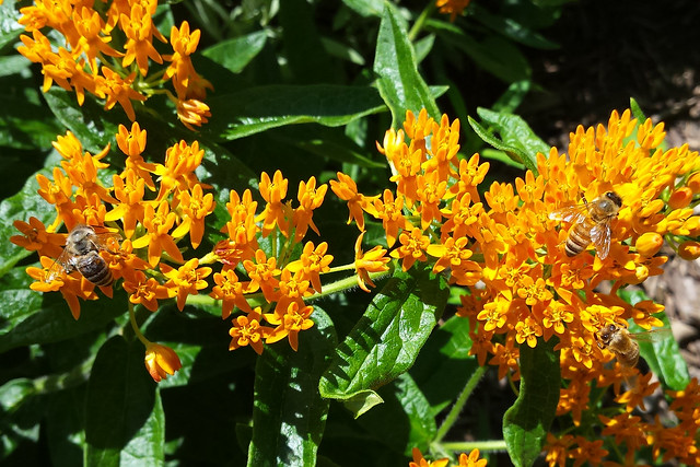 closeup of a horizontal stem of light orange, with one honeybee on the left and two on the right