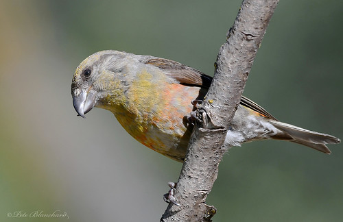 Crossbill (explored)