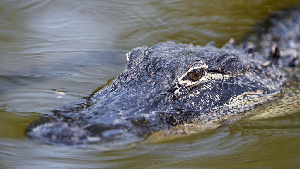 crocodile cage diving