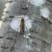 Tipula hermannia (crane fly)
