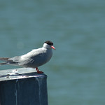 Perched Tern