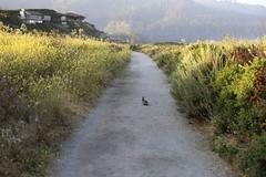 Bunny rabbit on the pathway at sunrise/Carmel Meadows