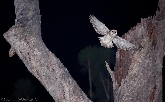 Masked Owl Tyto novaehollandiae, Canon EOS 5D MARK III, Sigma 150mm f/2.8 EX DG OS HSM APO Macro
