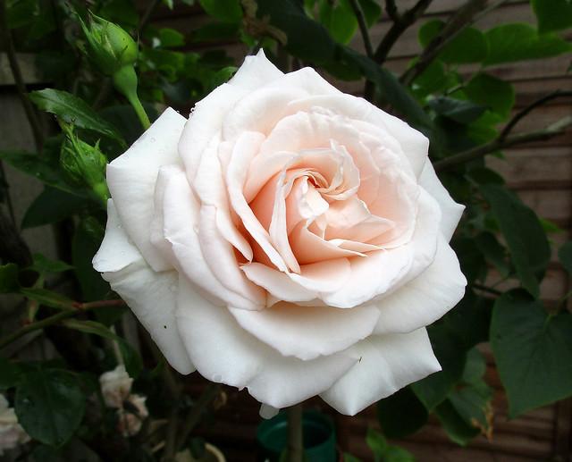 Climbing rose   Penny Lane, Canon IXUS 170