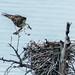Osprey Nest-227.jpg