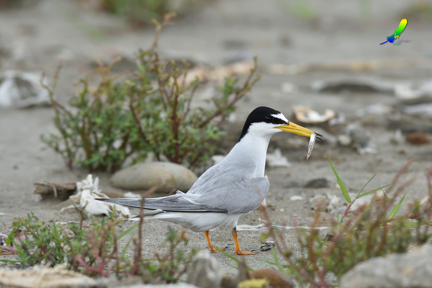 Little_Tern_7882