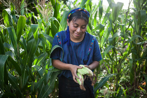 Indigenous Woman Harvesting Corn