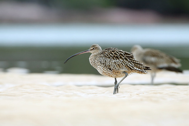 Eastern Curlew00000019DRW