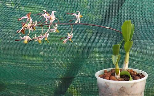 dendrobium hybride orchid orchidée