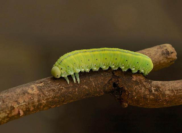 Large Alder Sawfly ---- Cimbex connatus