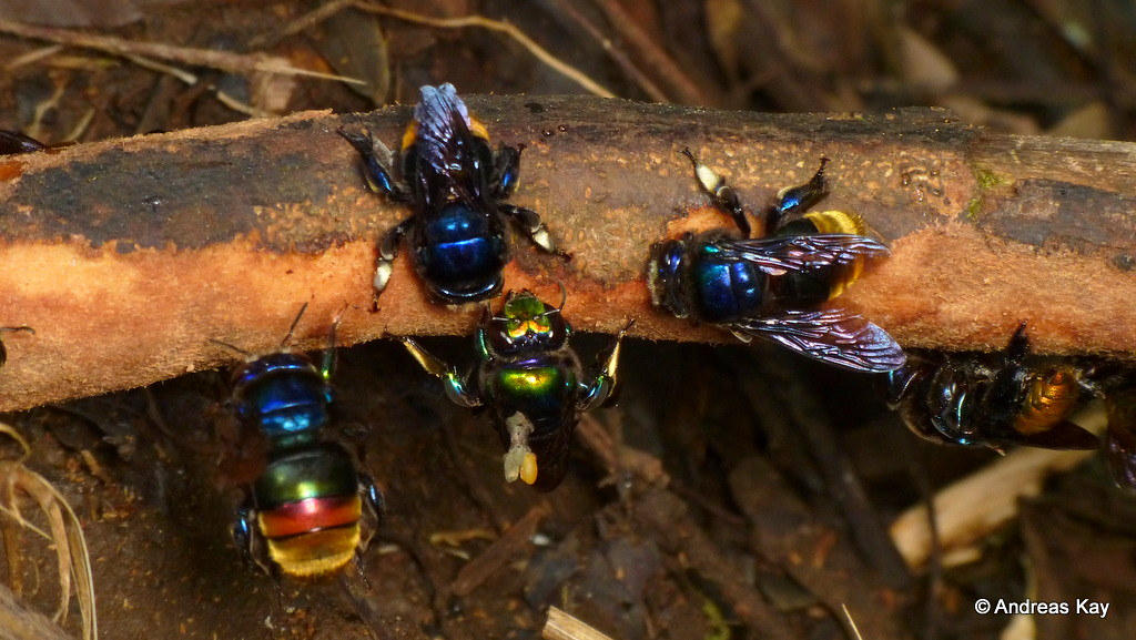 Orchid bees, Euglossini collecting bark for their nest