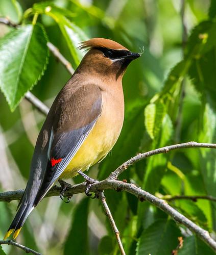 cedarwaxwing waxwing southernwaxwing canadarobin cedarbird cherrybird recellet bombycillacedrorum bombycilla bombycillidae nigelje okanaganfalls okanagan okanaganfallsprovincialpark