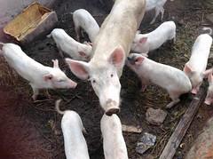 Sow and piglets, Langa Langa Village, Nasarawa State, Nigeria, #JujuFilms