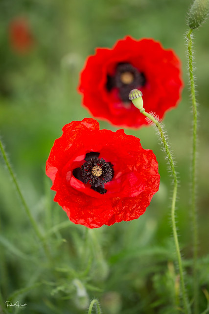Wild Poppies -4, Canon EOS 5D MARK III, Canon EF 100mm f/2.8L Macro IS USM