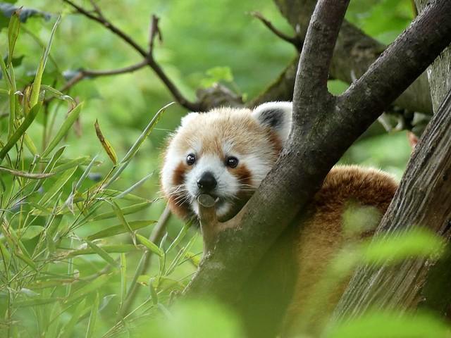 Roter Panda, Hellabrunn