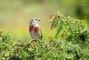 Common linnet ♂