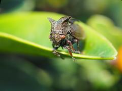 Horned Treehopper - Centrotus cornutus