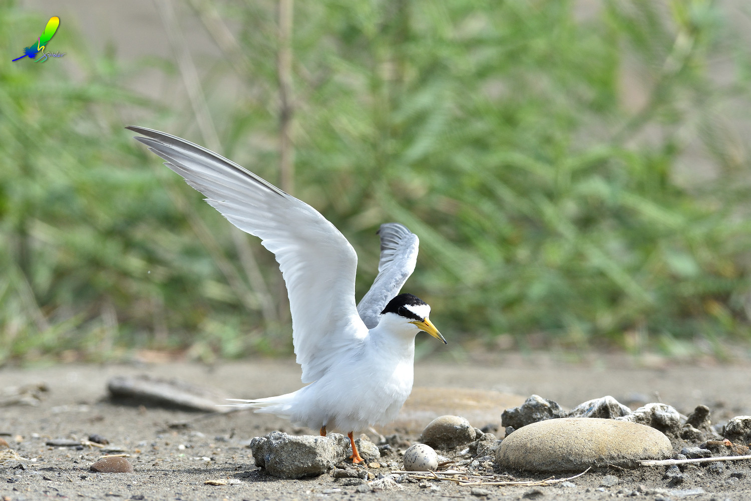 Little_Tern_6587