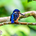 Blue-eared Kingfisher (Trevor Platt)