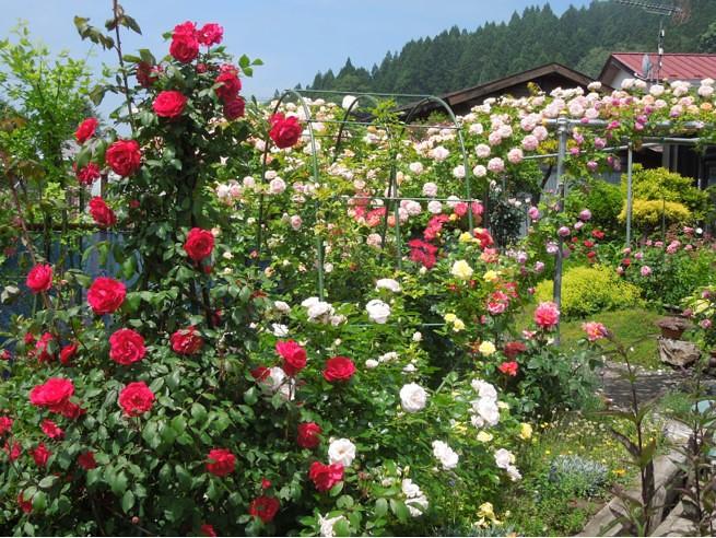 実家の29種のバラがバラ園のように凄いことになってた (5)
