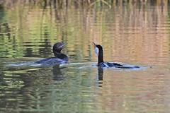 Little Black Cormorant  and little Pied Cormorant