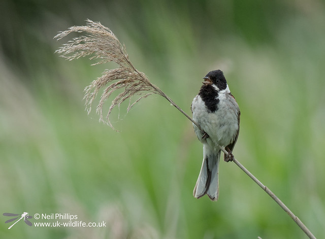 Reed bunting-2