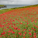Cornish poppies... by hank photography