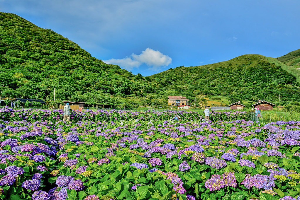 20170607竹子湖繡球花_170608_0008