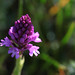 Pyramidal orchid starting to flower
