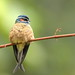 Whiskered Treeswift (Andy Hawkins)