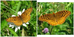 Meadow & Great Spangled Fritillaries