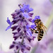 Small photo of Abeille - Bee - Ape