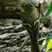 Yellow-bellied Flycatcher [Empidonax flaviventris] (Explored) by Fred Roe