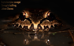 Savage's bull frog