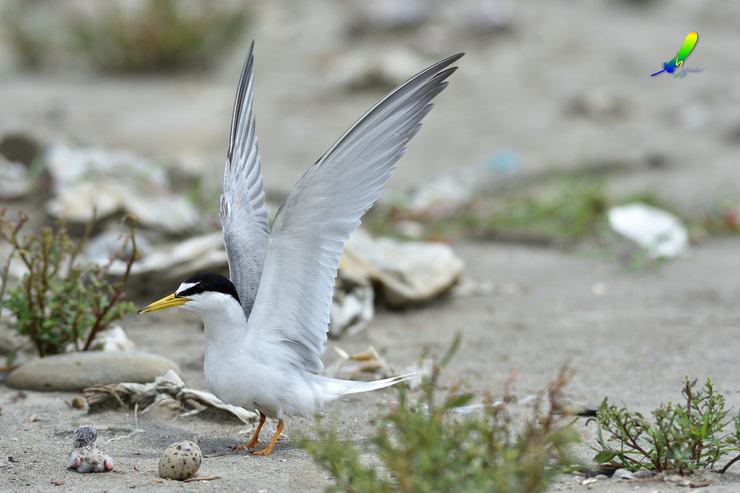 Little_Tern_8996