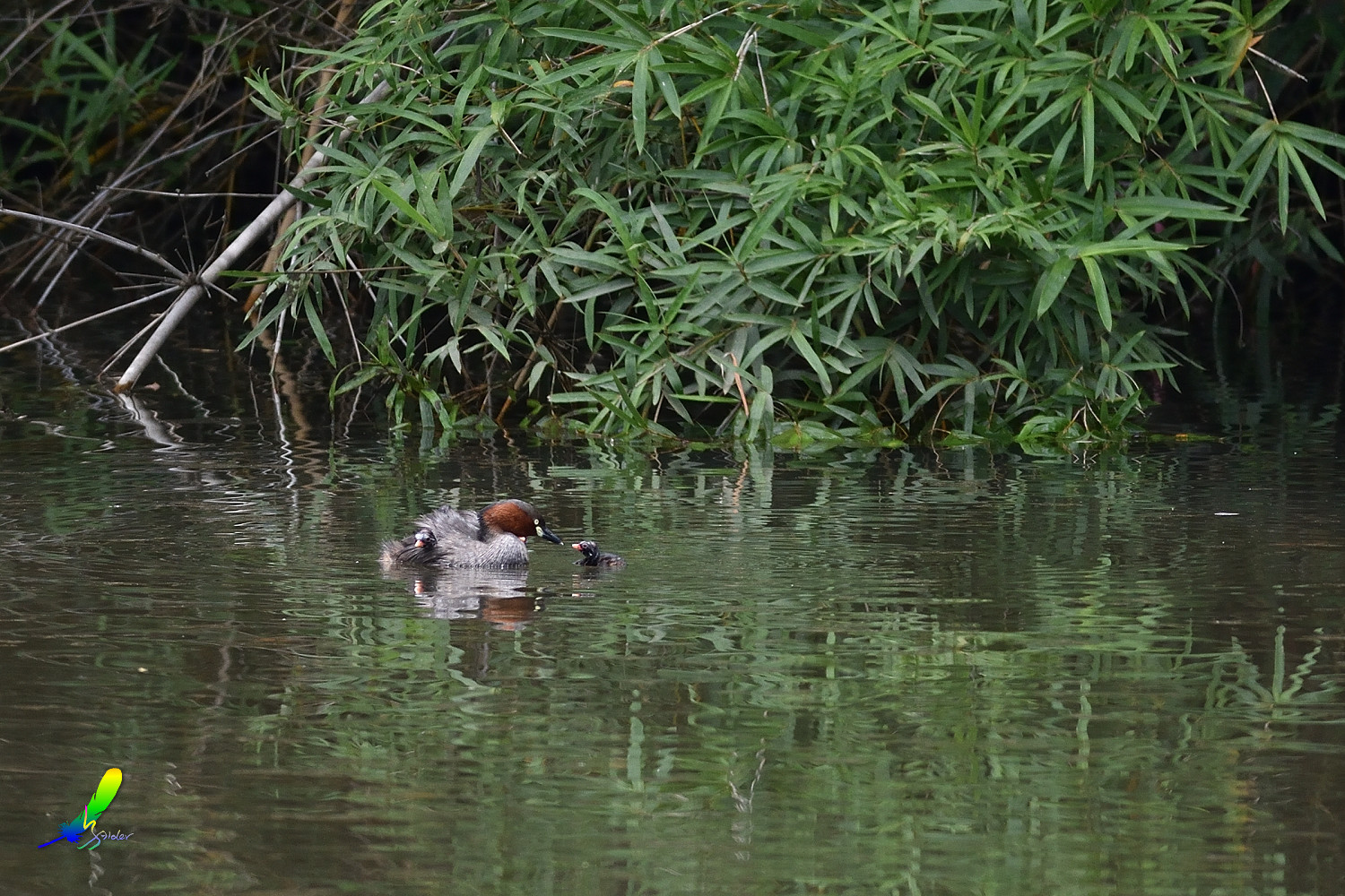 Little_Grebe_5682