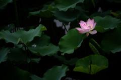 Lotus 荷 2017-2018