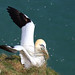 Gannet Collecting Nesting Material by Canon 50D-5DMk lll Man
